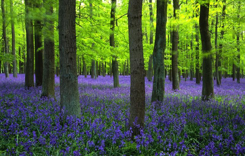 Kết quả hình ảnh cho hoa blue bells